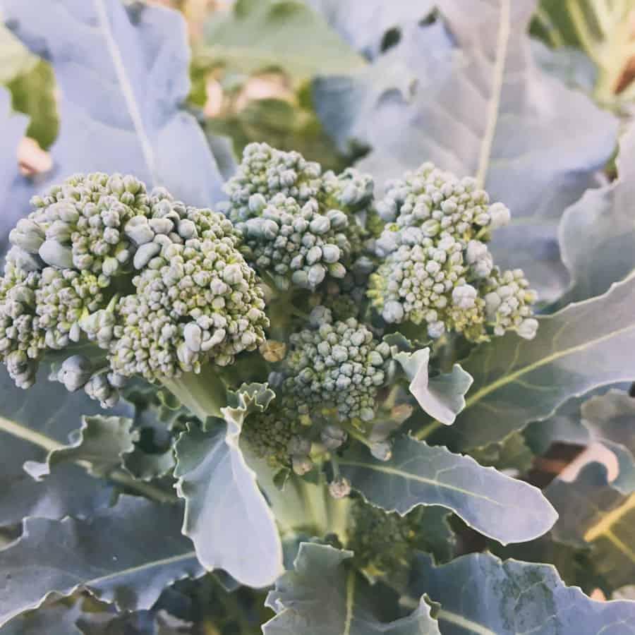 Brokoli beim Urban Gardening